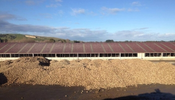 walling-contracting-services-gallery-fodder-beet-10